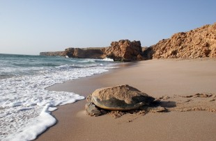 Oman_Wildlife_Animals_Turtle5