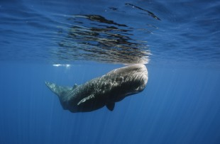 SPERM WHALE OFF THE COAST OF SRI LANKA copy