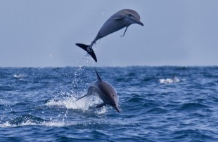 Oman_Wildlife_Animals_Dolphin4