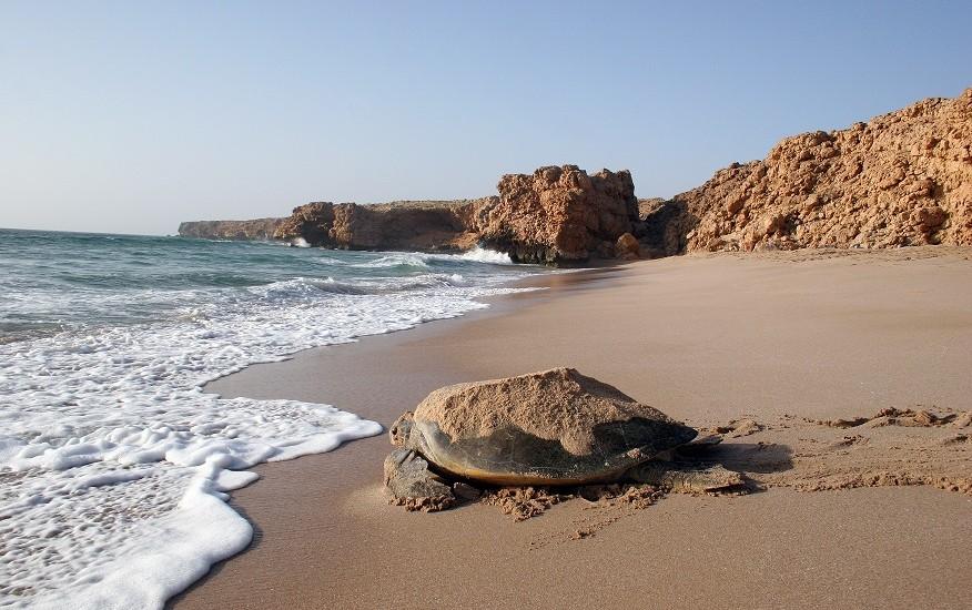 Oman_Wildlife_Animals_Turtle5