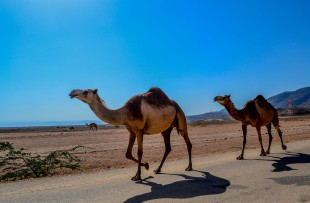 camel-468096_1920